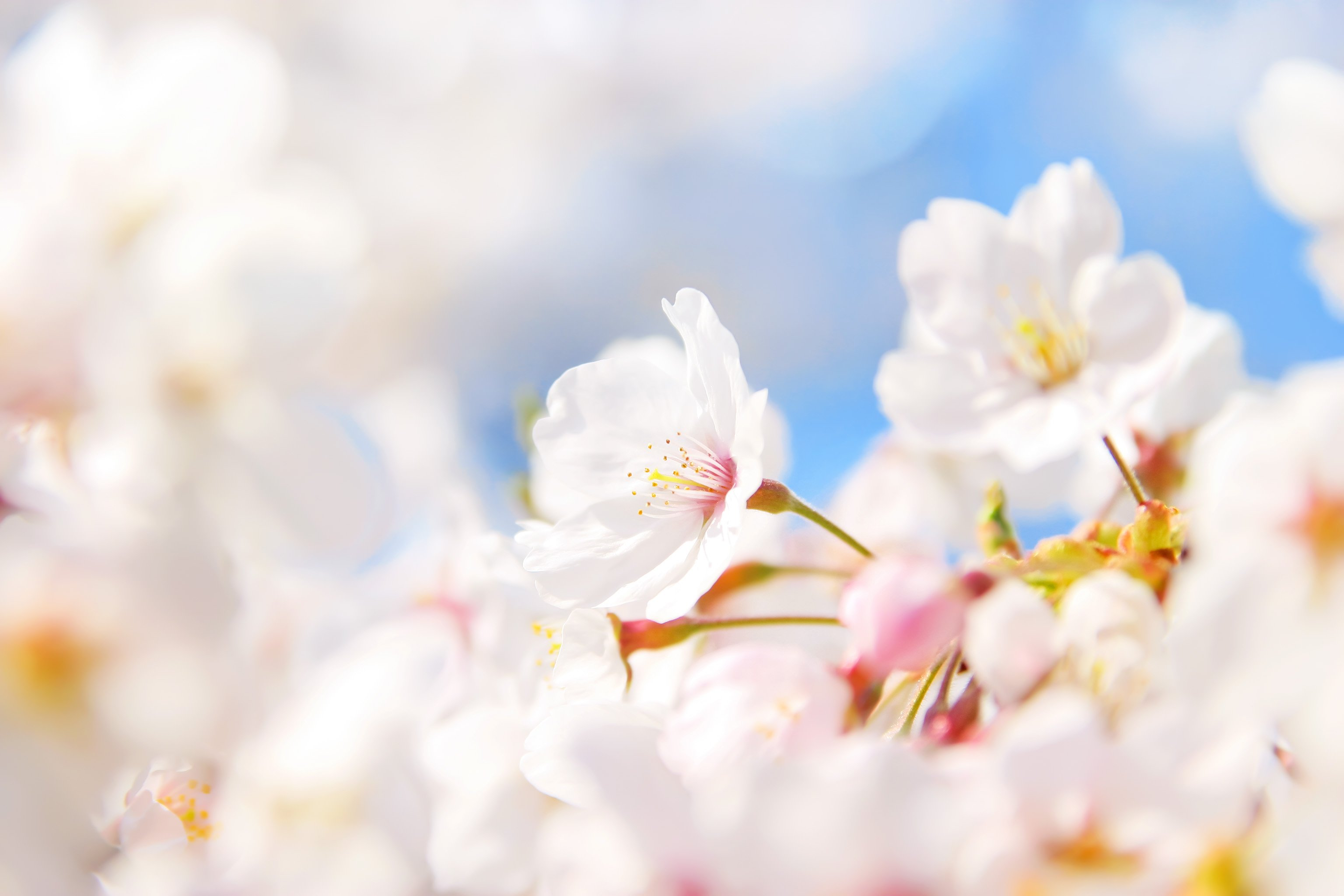 xcherry-blossom_00004.jpg.pagespeed.ic.1yJLHbuJ85